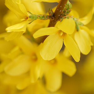 Like Spotting The First Robin Seeing Bright Yellow Or Gold Forsythia Flowers Is A Sure Sign Of Spring After Blooming This Sun Loving Shrub That Reaches