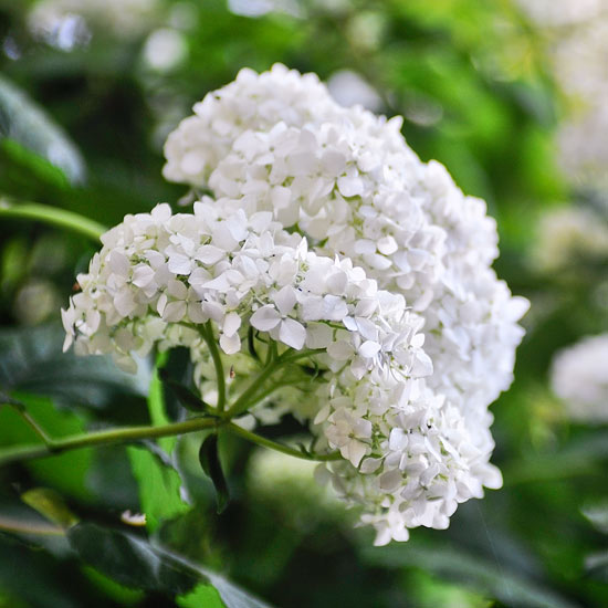 Flowering shrub identification flower inspiration for White flowering bush