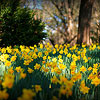 Naturalize with Daffodils