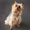 Yorkshire Terrier (aka Yorkies)