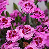 Dianthus EverLast series
