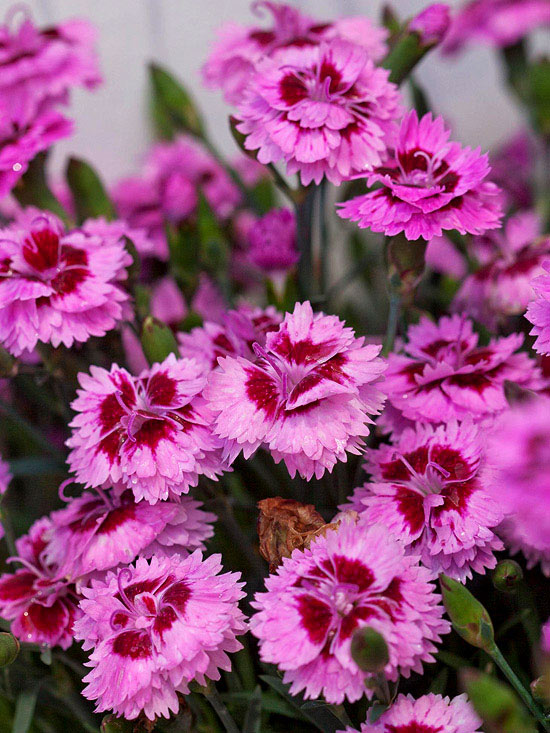 Low maintenance perennials for the midwest for Low maintenance perennials for shade