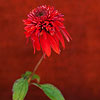 Echinacea 'Double Scoop Cranberry'