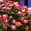 'Patchwork Cosmic Orange' Impatiens
