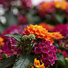 Little Lucky Lantana Family