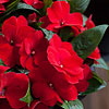 'Magnum Dark Red' New Guinea Impatiens