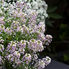 'Snow Globe Purple' Sweet Alyssum