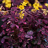 Plum Crazy Yellow Oxalis