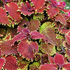 'King Crab' Coleus