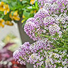 Blushing Princess Sweet Alyssum