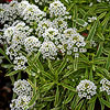 Frosty Knight Sweet Alyssum