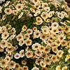 Million Bells Tropical Delight Calibrachoa