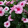 Cora Cascade Strawberry Vinca