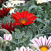 'Kiss Frosty Red' Gazania