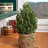 Burlap-Wrapped Rosemary Tree