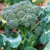 'Sun King' Broccoli
