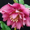 'Ballerina Ruffles' Hellebore