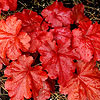 'Fire Alarm' Coralbells