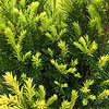 'Huber's Tawny Gold' Yew