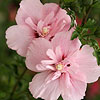 Pink Chiffon Rose of Sharon