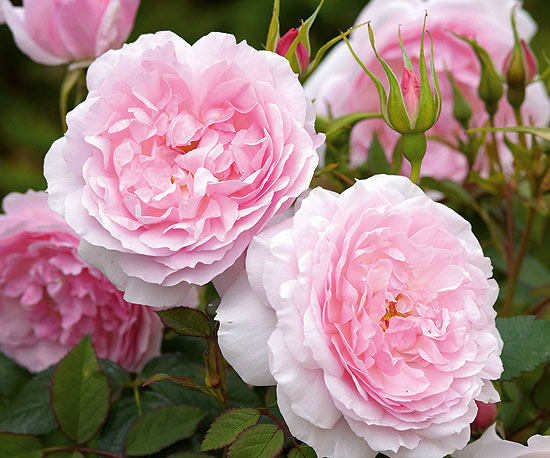 Roses Buying Guide