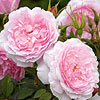 Lady Salisbury English Rose