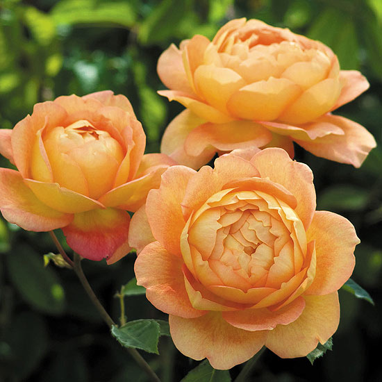 Lady of Shalott English Rose