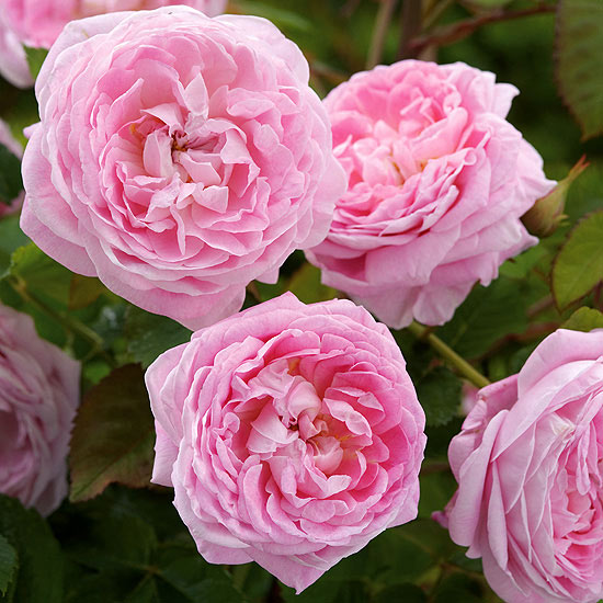 Queen Anne English Rose