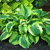 'Afterglow' Hosta