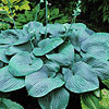 'Humpback Whale' Hosta