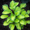 'Pocketful of Sunshine' Hosta