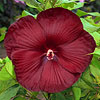 Hibiscus 'Heartthrob'