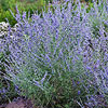 Russian Sage PEEK-A-BLUE
