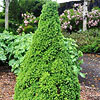 'Tiny Tower' Dwarf Alberta Spruce