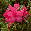 Encore 'Autumn Jewel' Azalea