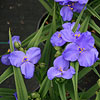 Amethyst Kiss Spiderwort