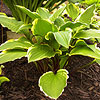 'Rubies and Ruffles' Hosta