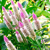 Pink-and-White Celosia