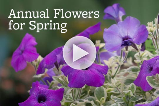 Annual Flowers for Spring