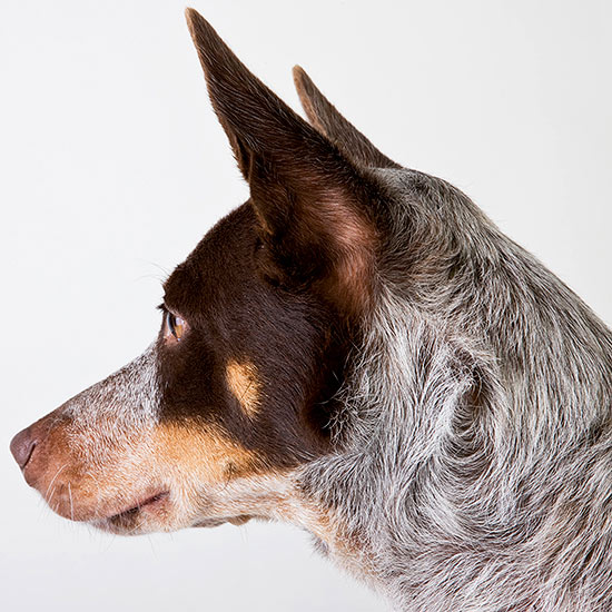 Heart Hazard: Protecting Your Pet from Heartworms