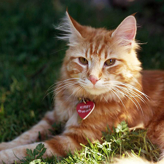full breed maine coon