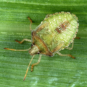 All About Stink Bugs