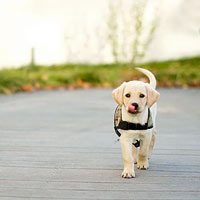 How to Become a Service Dog Puppy Raiser