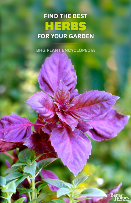 Herbs – Better Homes and Gardens Plant Encyclopedia