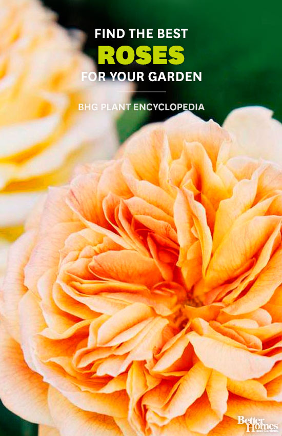 Roses – Better Homes and Gardens Plant Encyclopedia