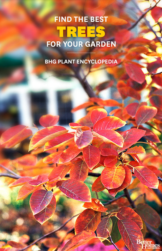 Trees – Better Homes and Gardens Plant Encyclopedia