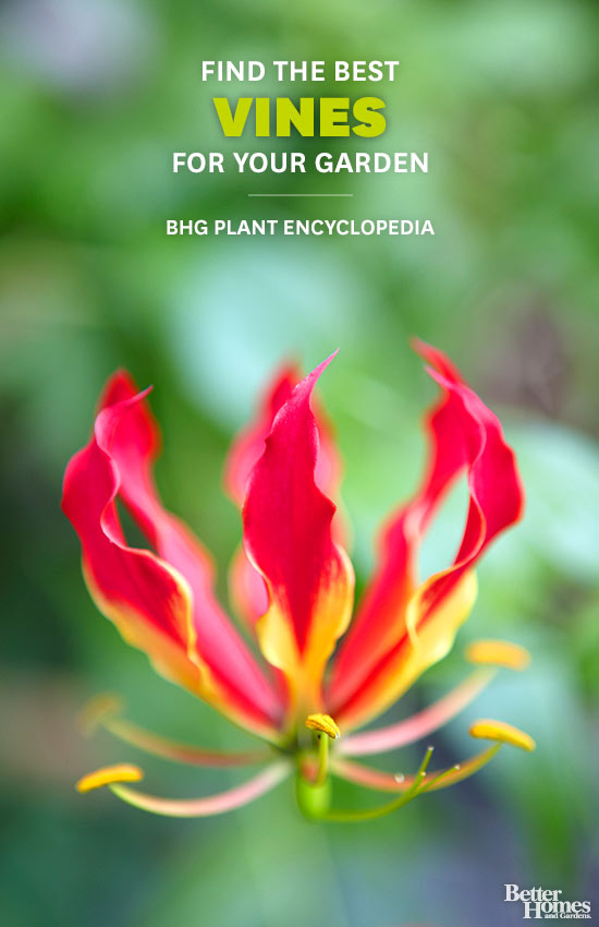 Vines – Better Homes and Gardens Plant Encyclopedia