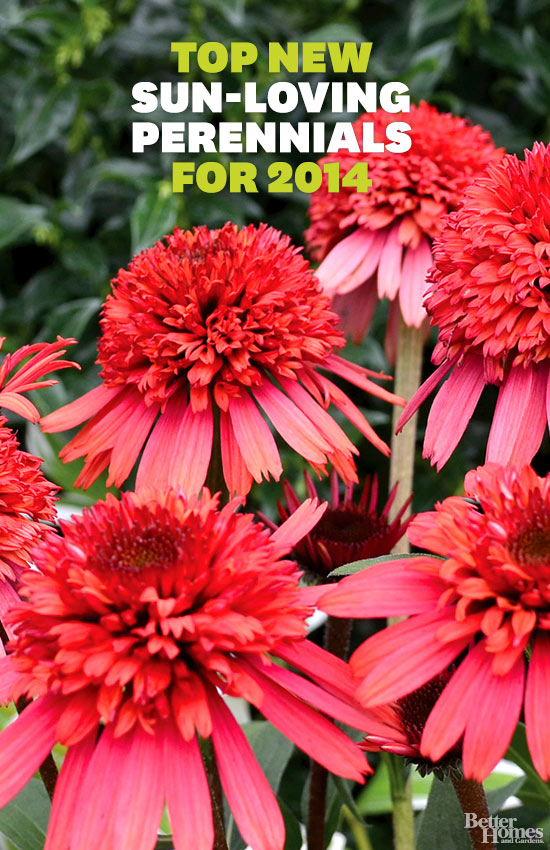 Top new sun loving perennials for 2014 Plants that love sun and heat
