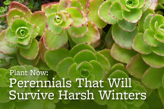Plant Now: Perennials That Will Survive Harsh Winters