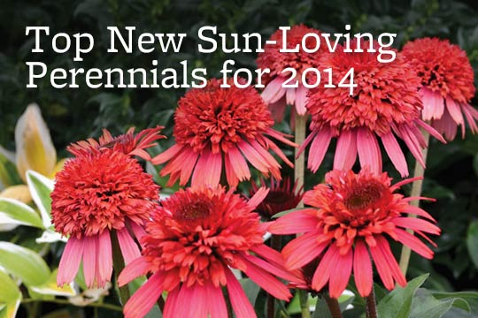 Top New Sun-Loving Perennials for 2014